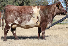 LOT 64 FUTURITY OSSIES CARNATION G87